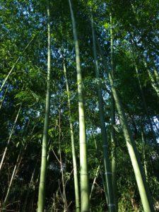 Bambous verts très hauts
